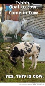 funny-goat-cow-speaking
