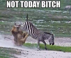 zebra kick to the face