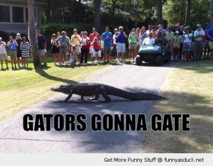 alligator-walking-garden-road-gators-gonna-gate-pics